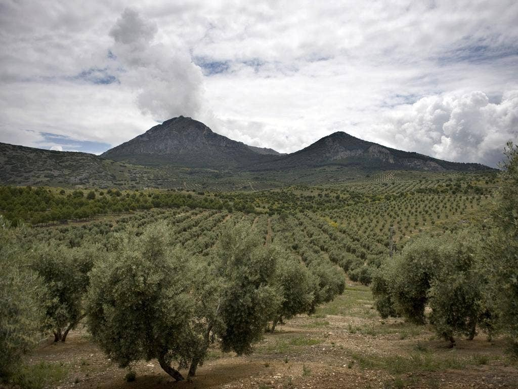 Farmers fear that over-production in Andalusian olive groves could close up to 80 per cent of their family-owned factories within a decade
