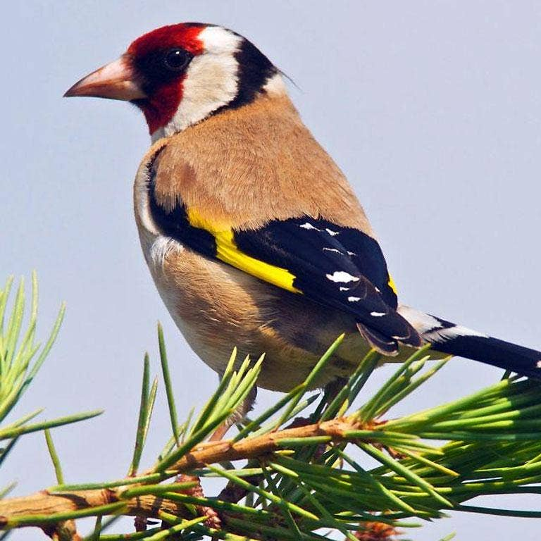 Goldfinches are now found in 58% of gardens, up from just 12% in the mid 1990s
