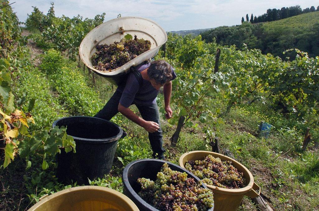 Take your pick: A Loire Valley vineyard