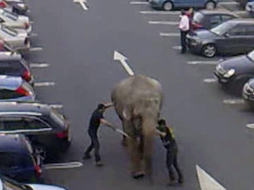Video images show keepers trying to bring Baby under control in the retail park