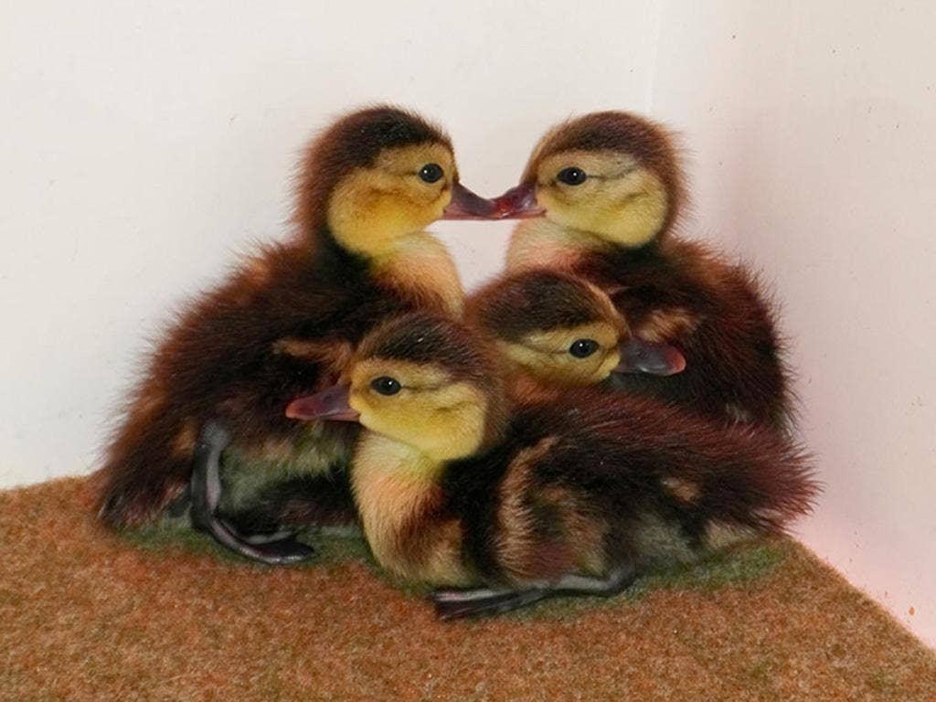 Newborn ducklings from the world's most endangered duck species – the Madagascar pochard
