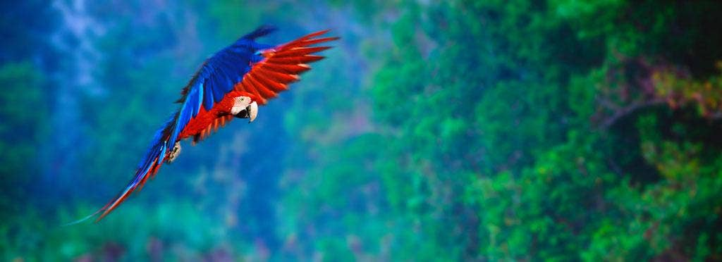 Symphonies of natural sounds: A Macaw juvenile in flight