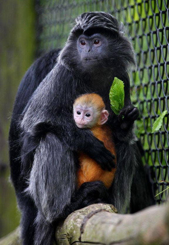 Malang, a one-month-old female Javan Langur, is cradled by its mother Untala, as she makes her public debut at Howletts Wild Animal Park