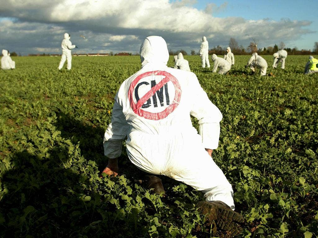 Activists claim the GM wheat at Rothamsted uses dangerous technology