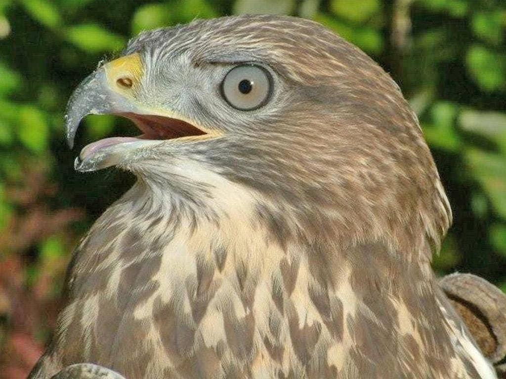 The numbers of buzzards are recovering after years of decline in Britain