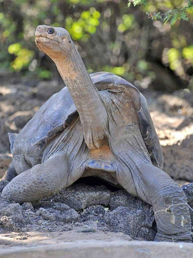 Lonesome George was the last remaining tortoise of his kind