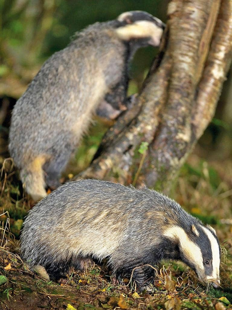 The trial cull could see 70 per cent of badgers killed across two areas measuring a total of more than 600 sq km