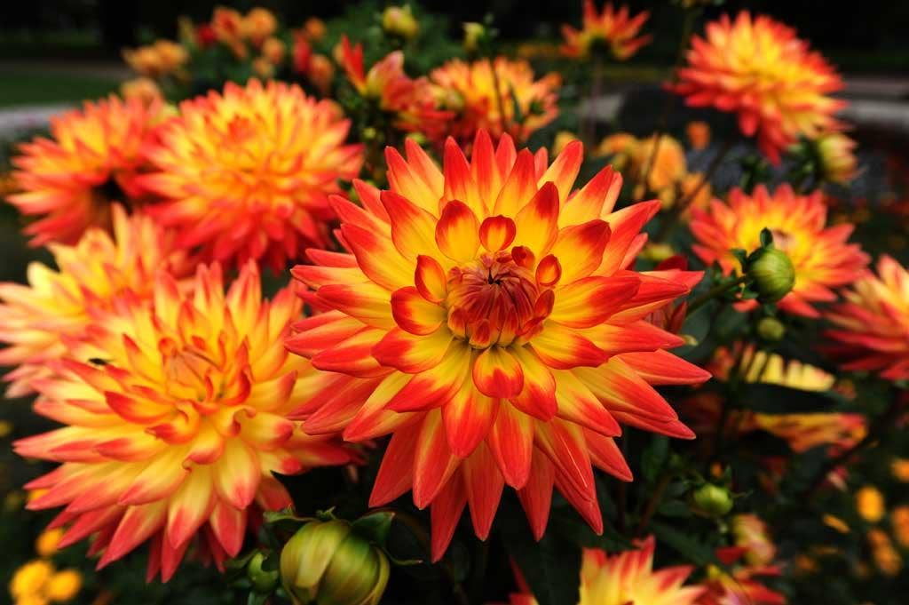 Dahlias are wonderful growers, producing flowers for months at a stretch