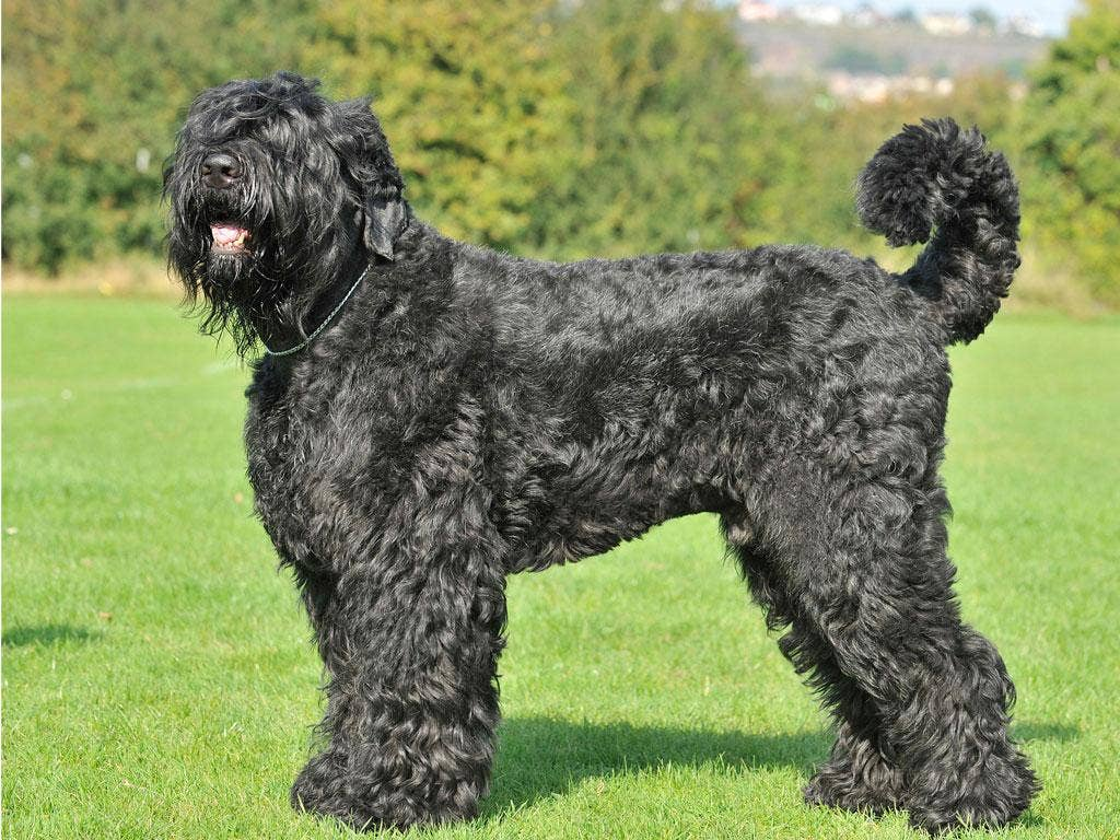 A Russian black terrier or 'Stalin dog'