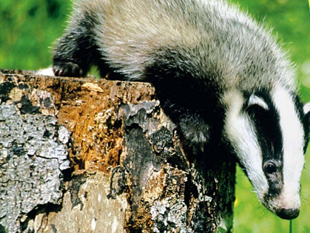 There are 250,000 adult badgers in the UK