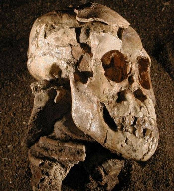 Selam is a remarkably well-preserved specimen of the species Australopithecus afarensis, an important forerunner of the human lineage. Her almost-complete skull and skeleton, embedded in sandstone rock, was discovered in 2000 in the Dikika region of north