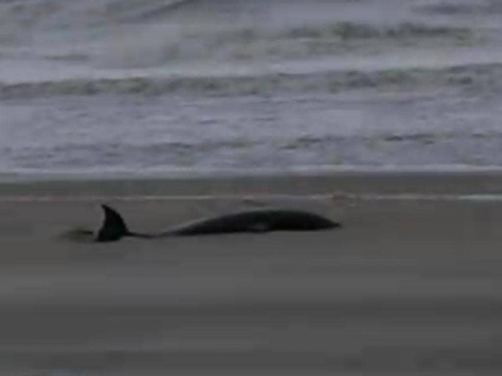 A screen shot of the dolphin that was found stranded on the shore in the aftermath of Hurricane Sandy