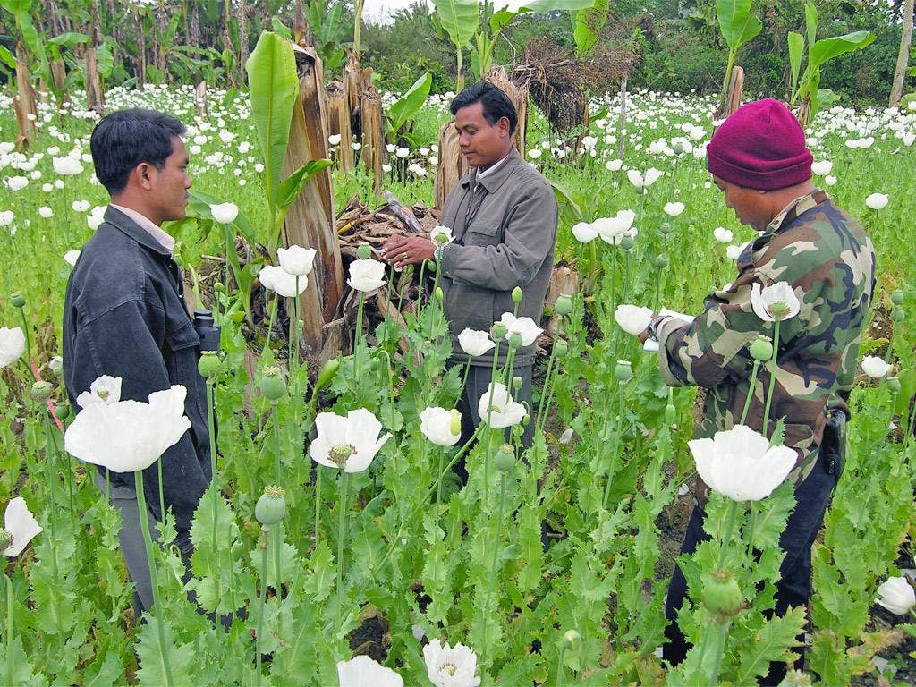 Workers preparing to harvest opium poppies in an opium poppy field in Burma