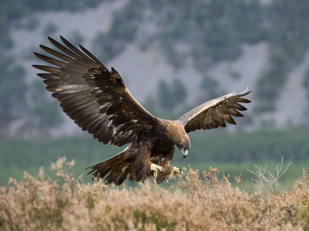 Golden eagles are usually associated with North America, but they are also present in Eurasia and parts of Africa