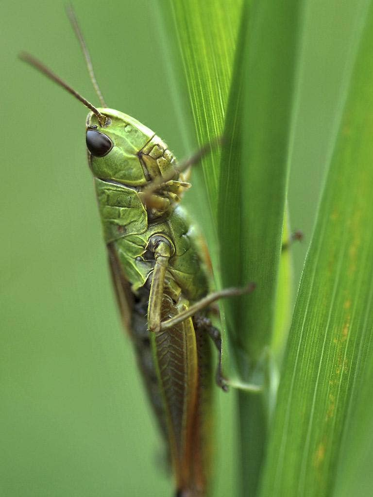 Grasshoppers adjust their summer courtship songs