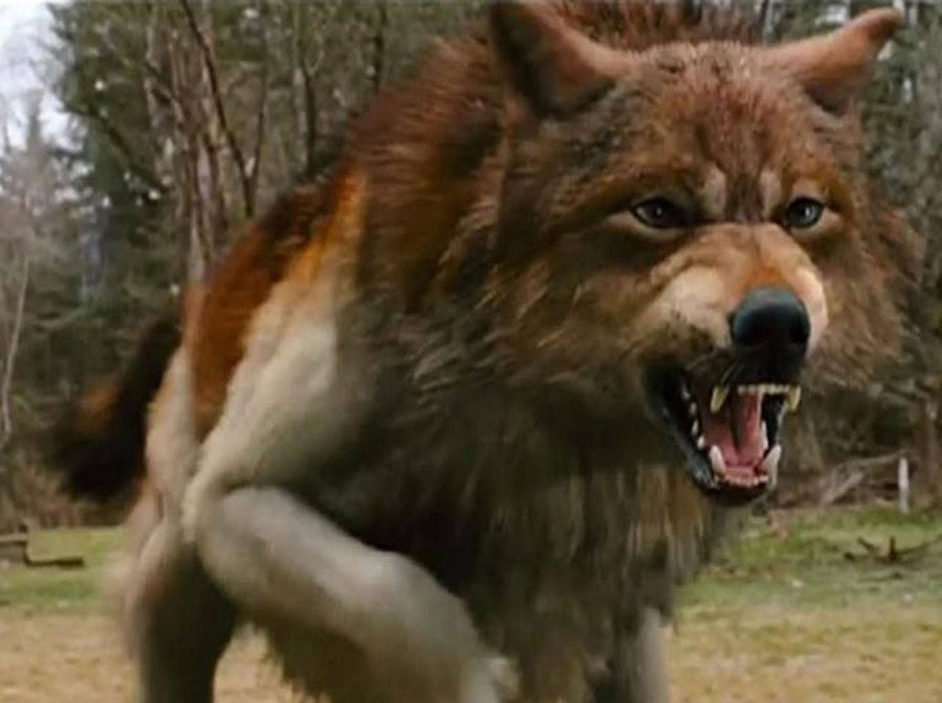 The shapeshifting Jacob Black in his werewolf state in 'Twilight'