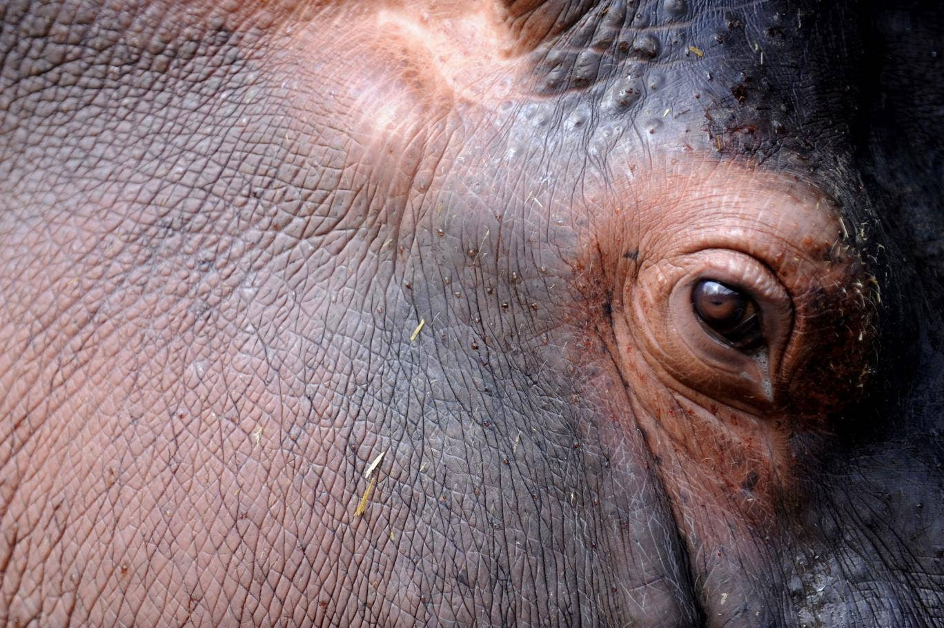 Exploring the darker corners of Colombia's history: Eye of a hippopotamus