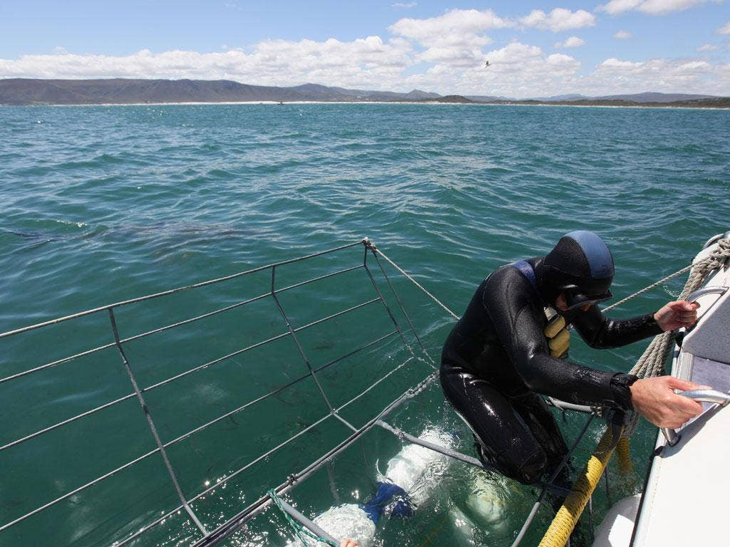 Close encounter: A diver enters a cage to swim near great white sharks ... if there are any around