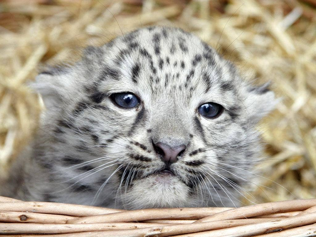 Snow leopards: enjoying a revival in the lead-up Christmas