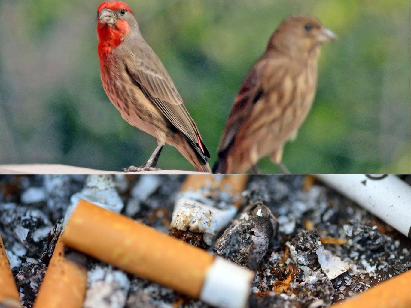 The house finch has learned to make the most of street litter -  including cigarette ends