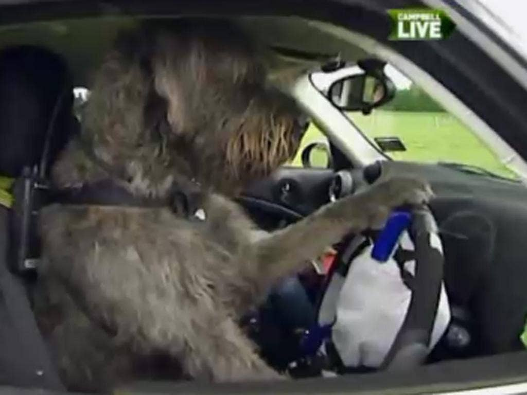 One of the dogs that has been trained to drive a car
