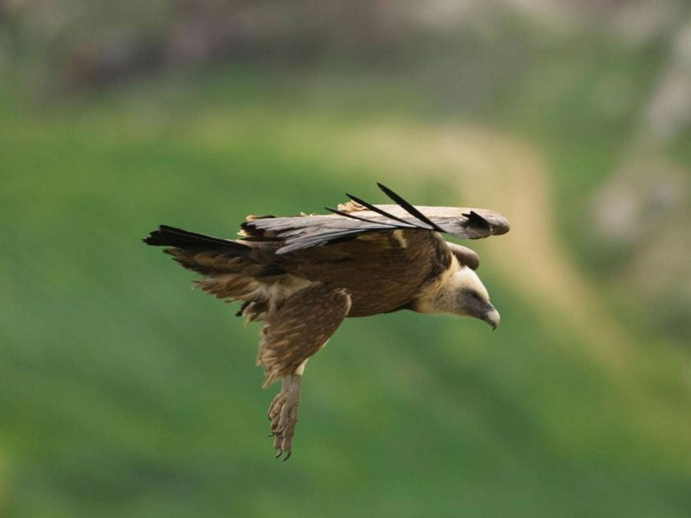The Griffon vulture was fitted with a GPS transmitter