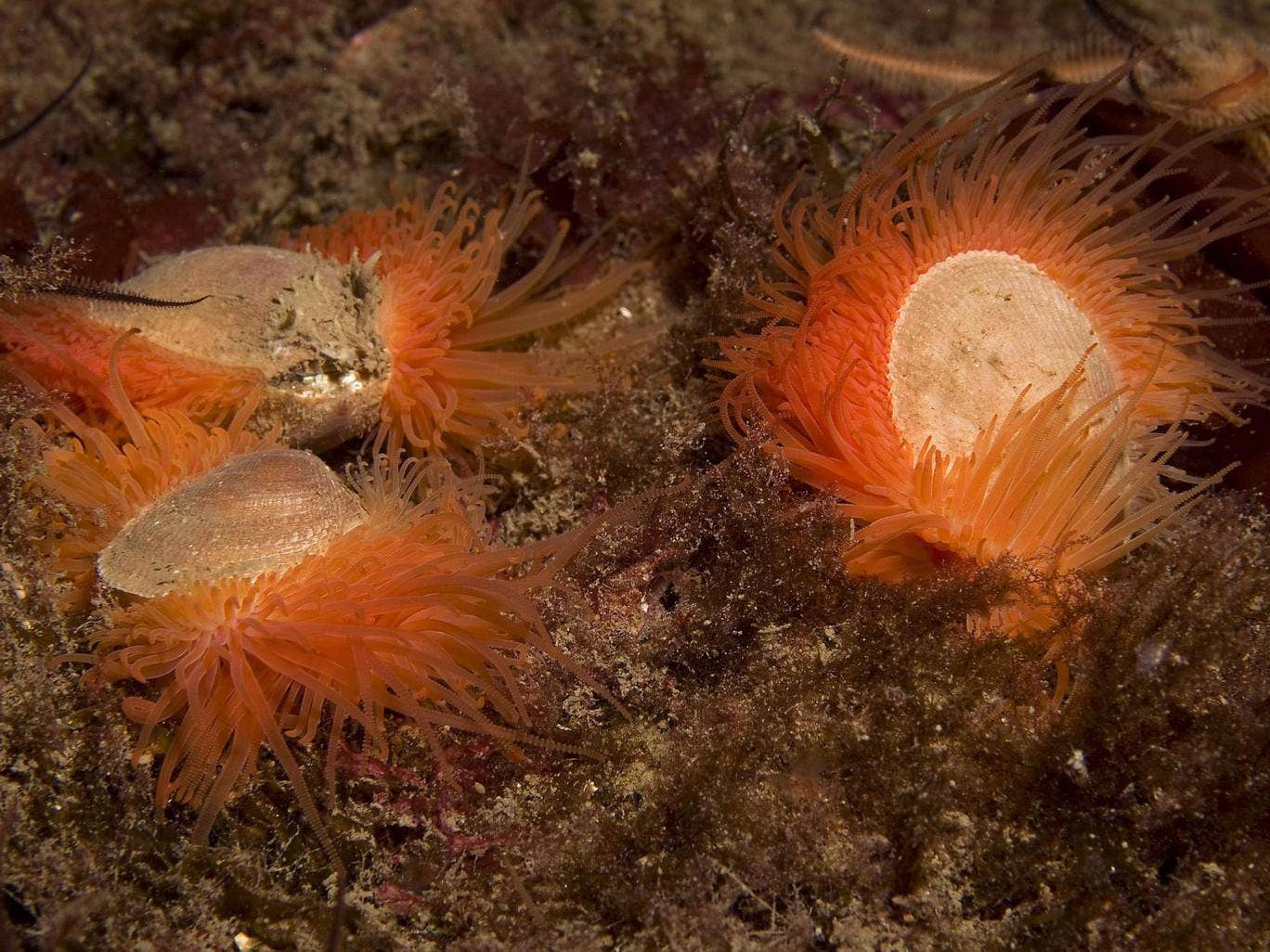The discovery of a large shellfish reef on the west coast of the UK could be the biggest find of its kind in the world, experts believe