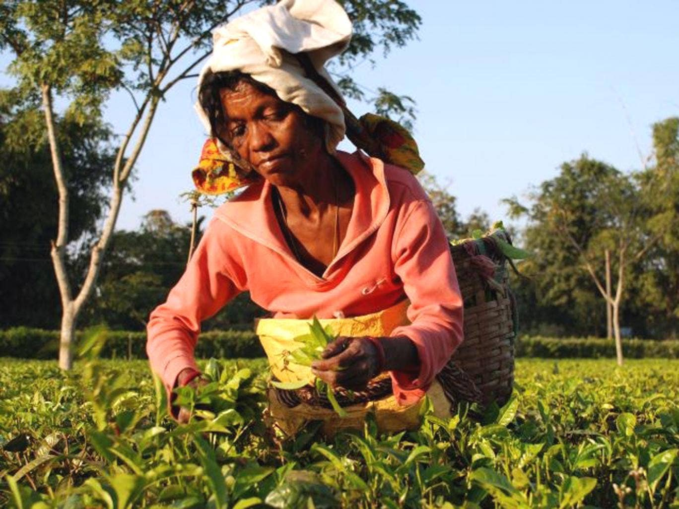 More than half of India's tea production comes from some 800 tea estates across Assam