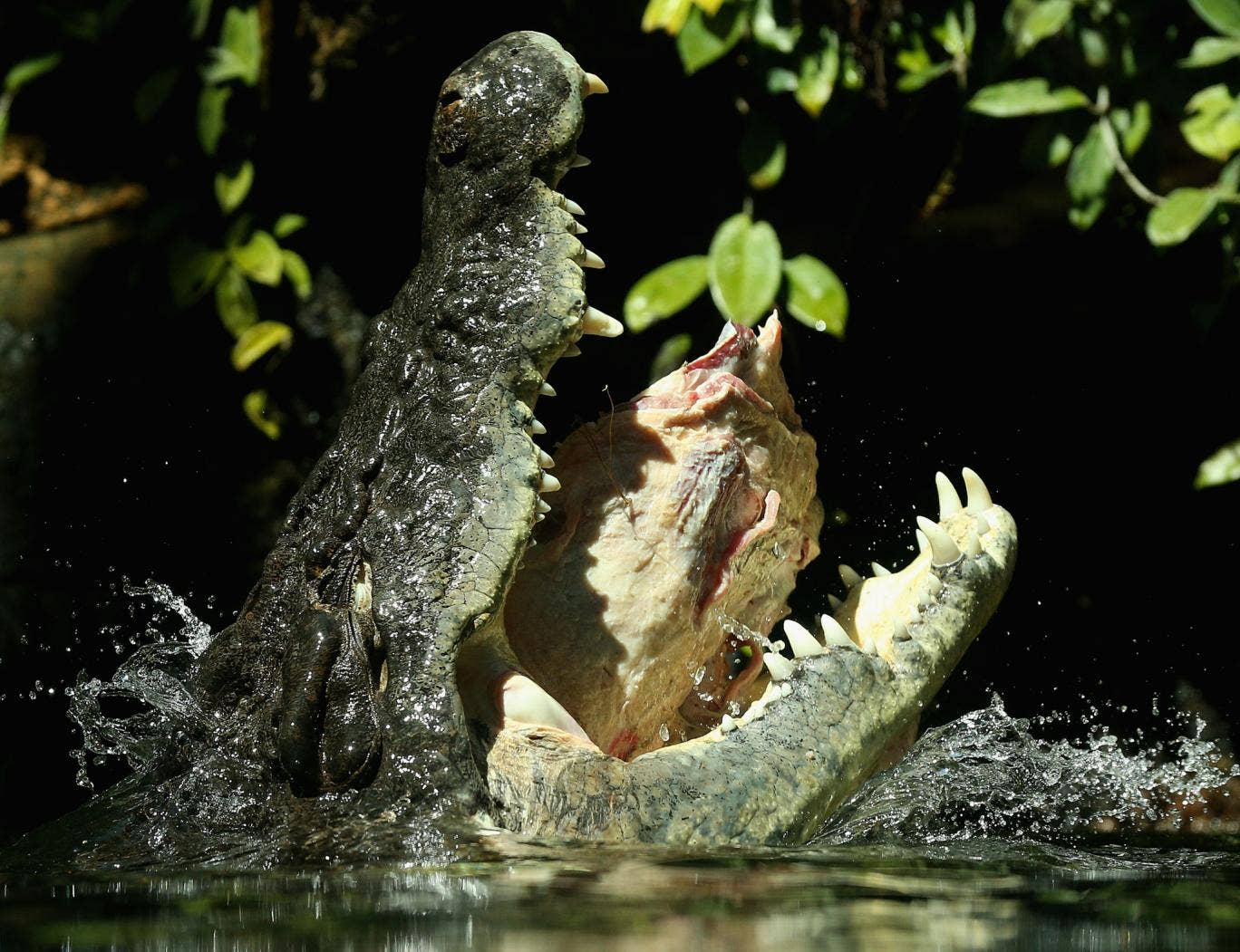 Many of the crocodiles have since been captured but over half remain on the loose in the the Limpopo River.