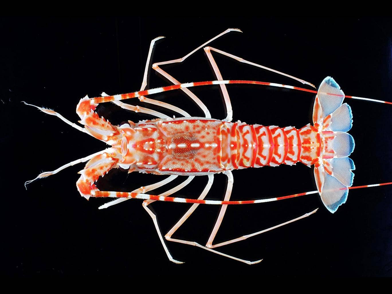 A deep-sea lobster of the genus Puerulus from the Indian Ocean which was recently discovered to be new to science. Extinction rates of animals and plants on Earth have been exaggerated, according to a team of researchers