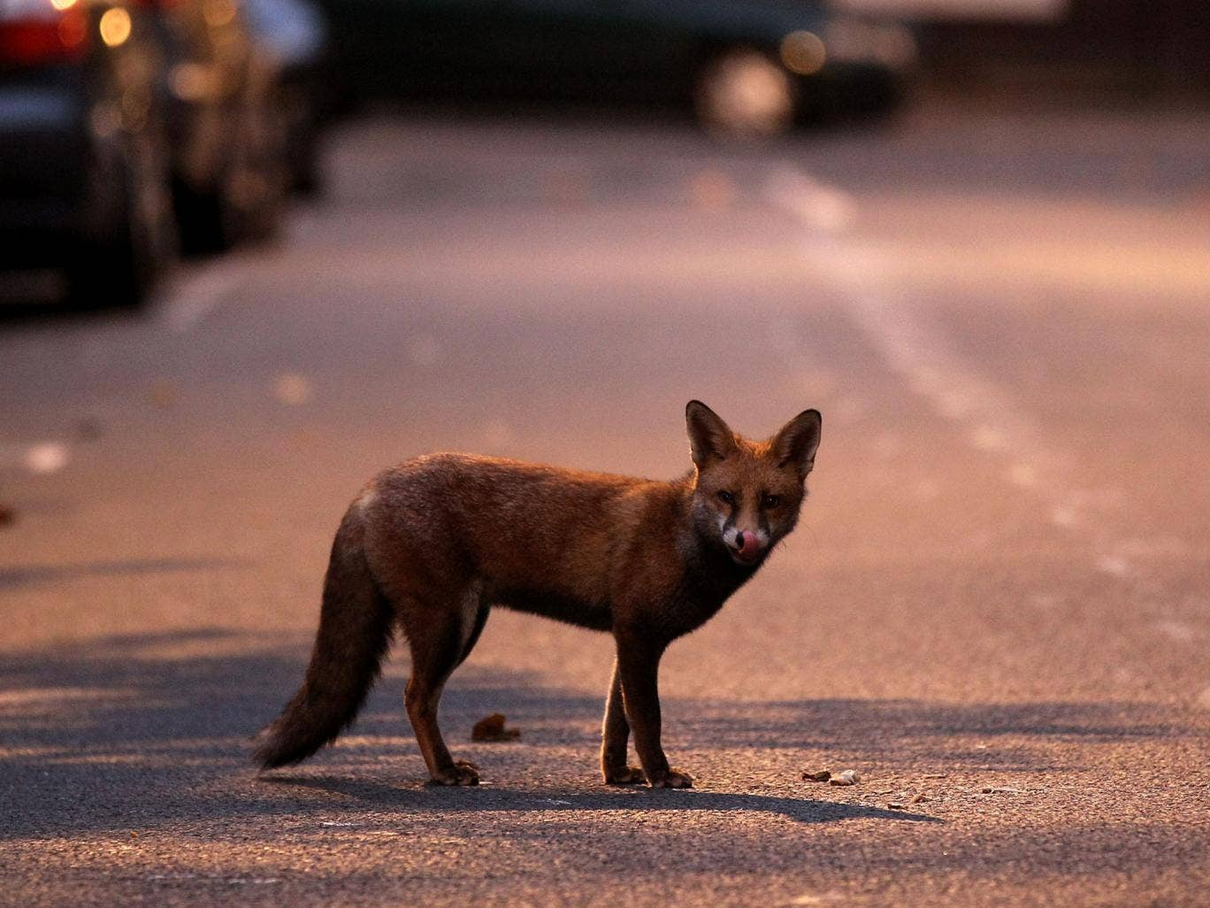 An estimated 10,000 foxes are thought to roam London