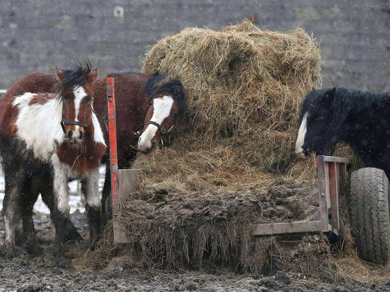 Horses are pictured in a field beside the Peter Boddy slaughterhouse in Todmorden, north-west England