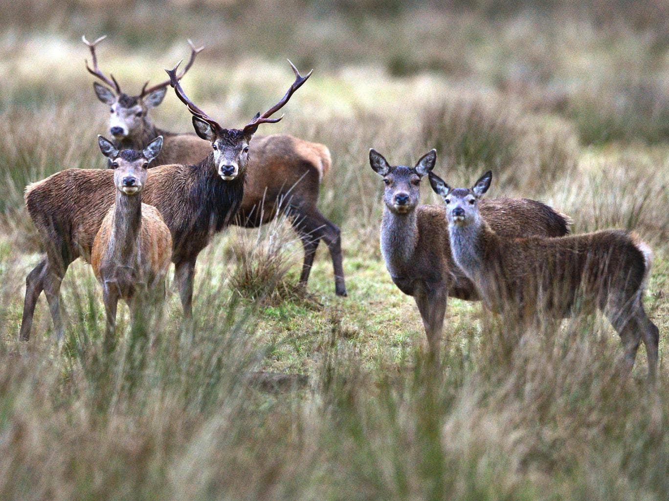Red deer are the biggest species of wild deer in Britain