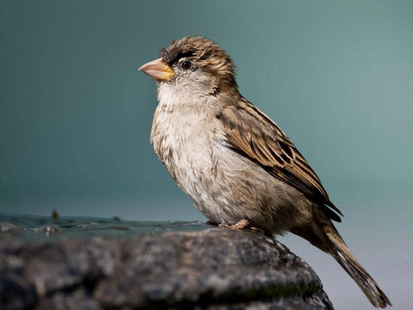 The sparrow's decline has levelled off, according to the British Trust for Ornithology