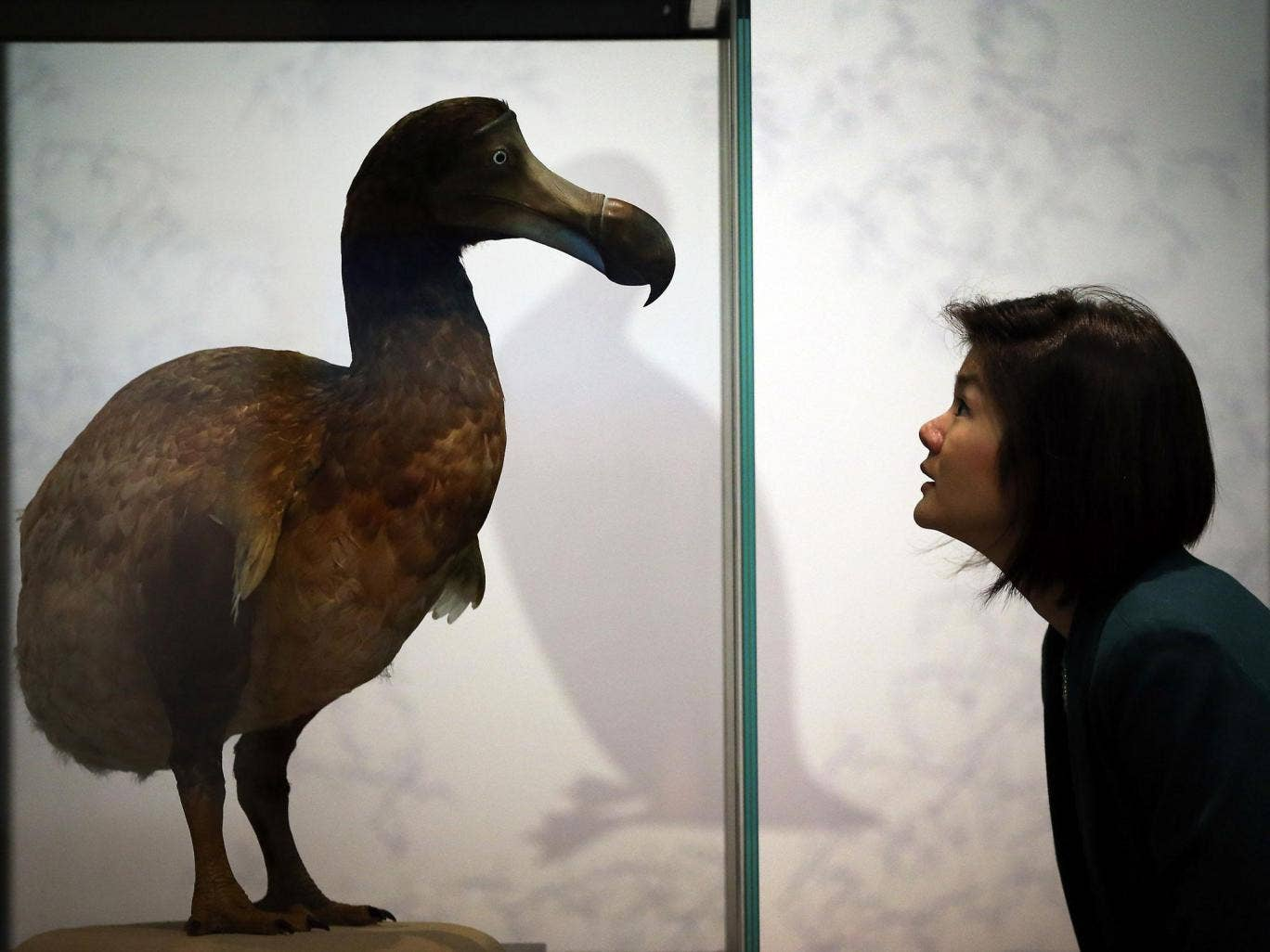 Dodo fossils were found in a mass grave on the island of Mauritius