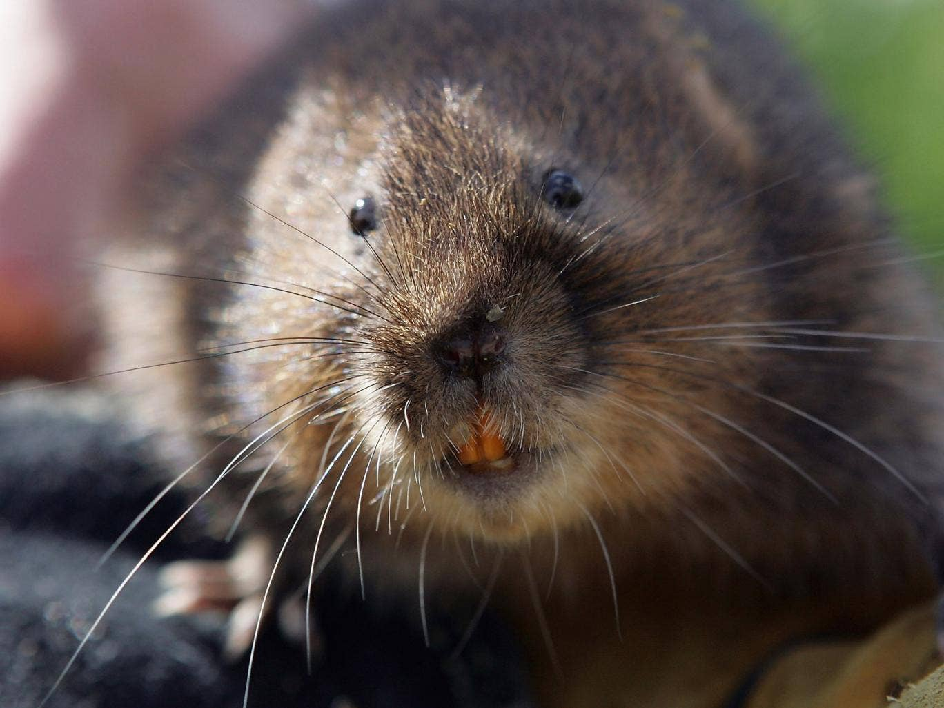 Voles, which live off plants, are at the base of the food chain and are considered a 'keystone' species in ecology