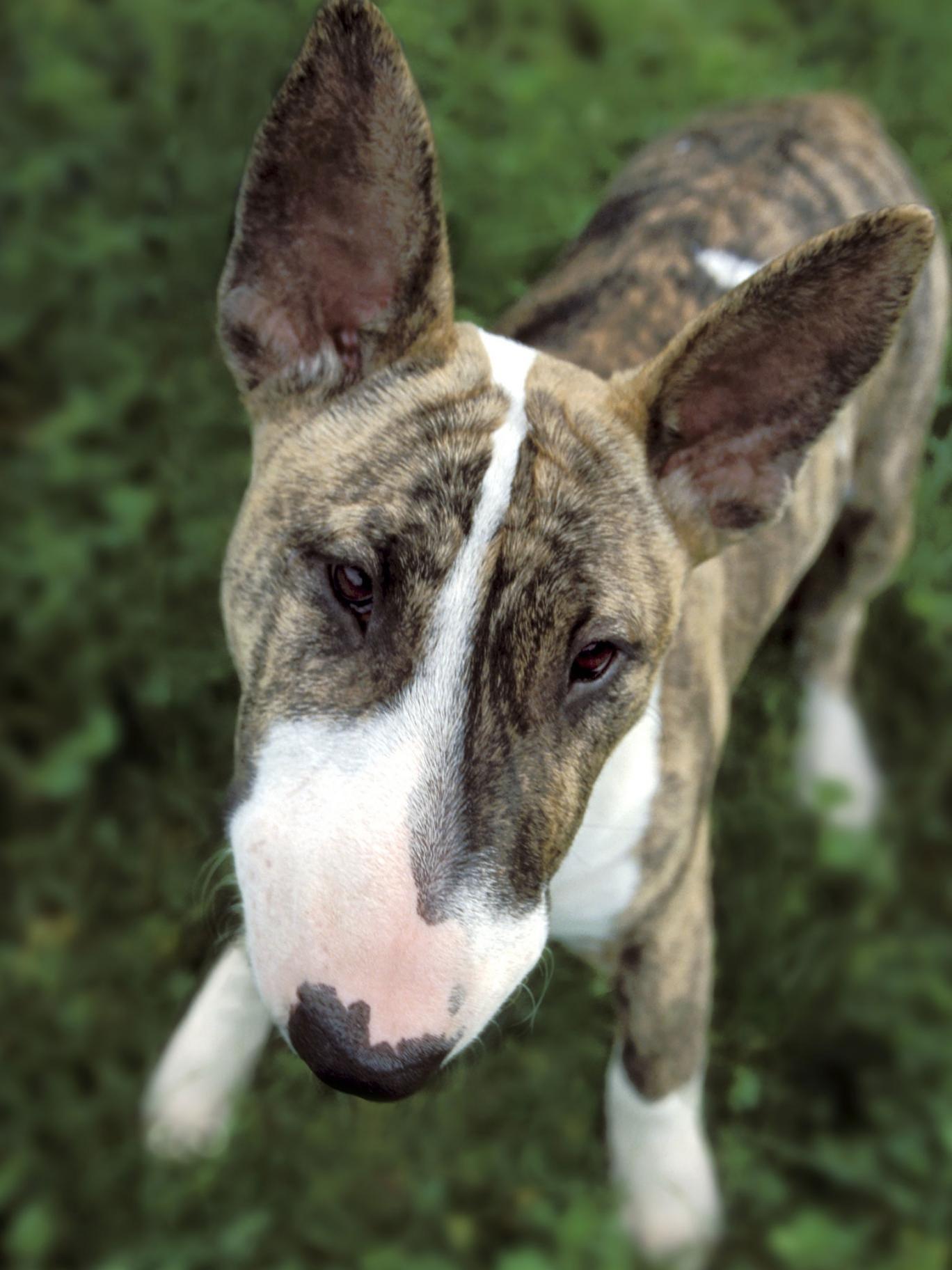 An English Bull Terrier
