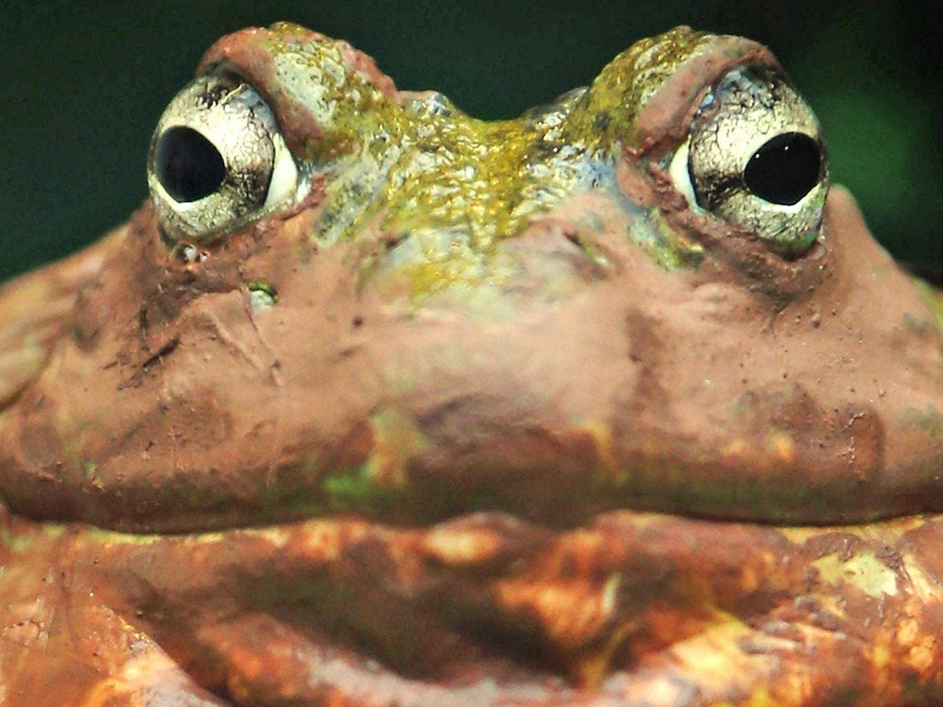 Paul Marinaccio said he felt like a prisoner in his own home. 'I can't get in my garage because of the frogs. They're right in front of the damn door,' the road construction company owner said
