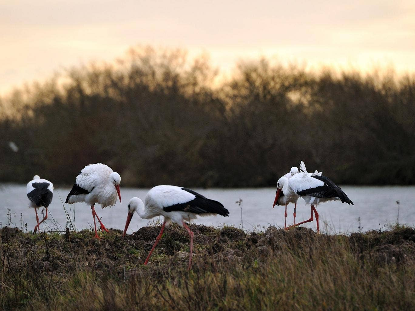 Beak district: Storks are among the abundant birdlife in the Parc du Marquenterre