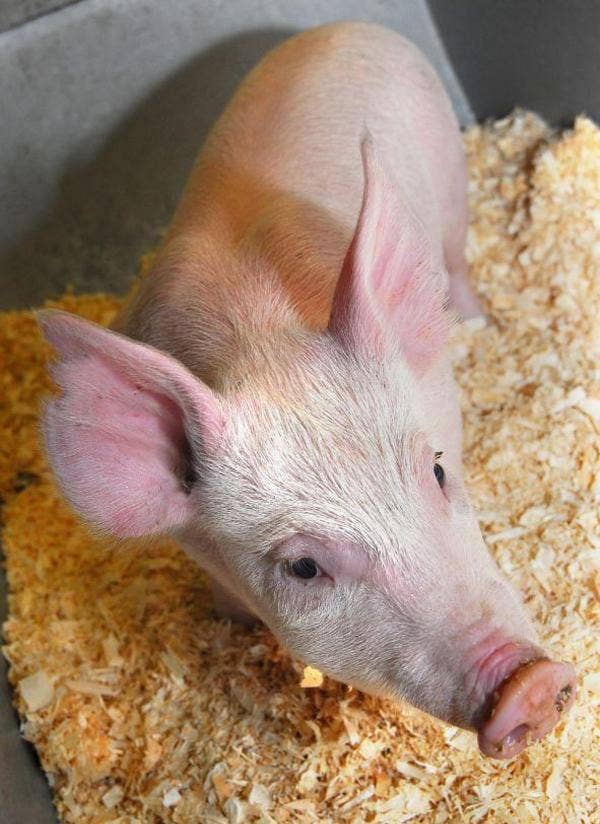 Pign 26: researchers at The Roslin Institute have used novel technologies to target specific changes in the pig genome
