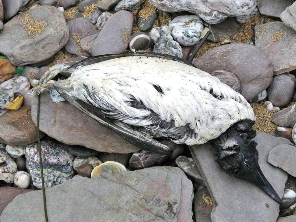 A dead guillemot at Wembury, Devon
