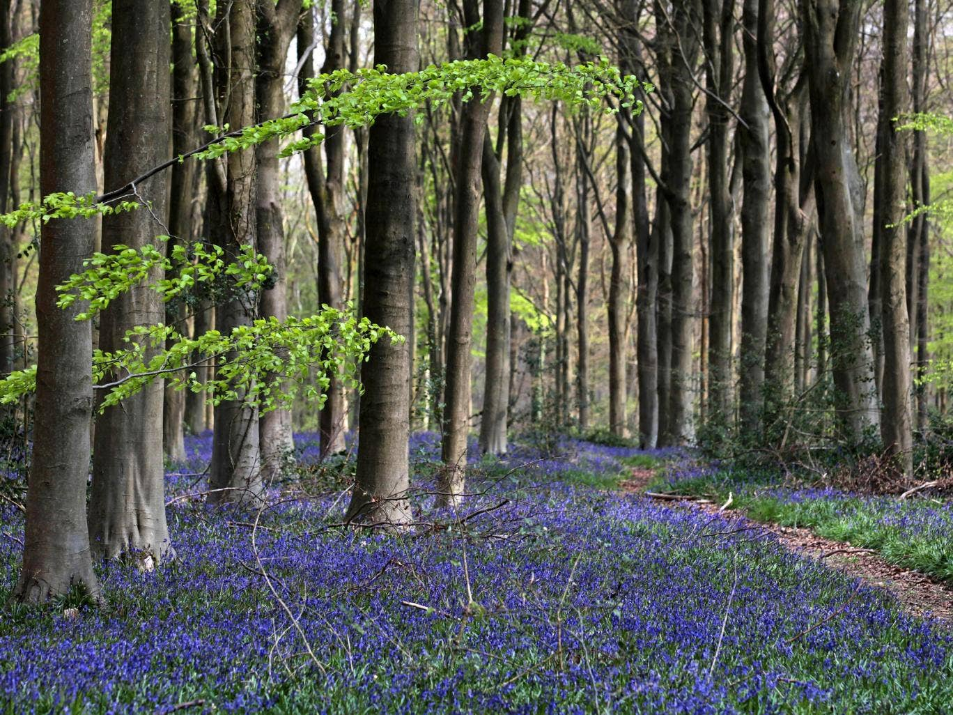 The native bluebell is being threatened by a close relative, the Spanish bluebell