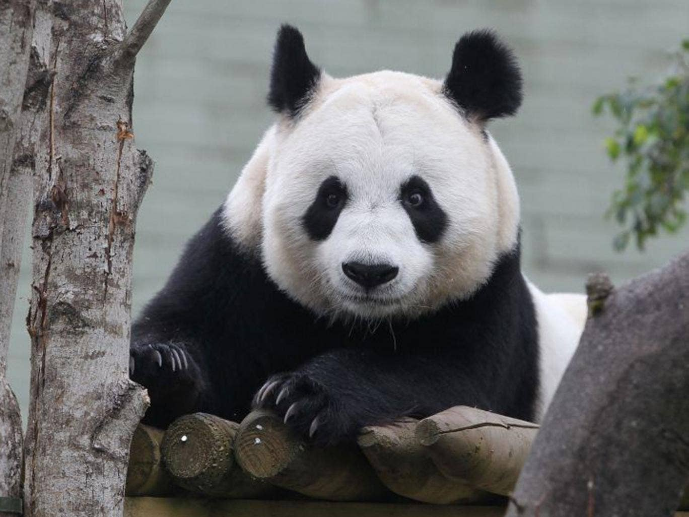 "Natural mating was not attempted between Tian Tian, pictured, and male Yang Guang (Sunshine) as scientists who have been monitoring them at Edinburgh Zoo decided that Tian Tian was showing signs that were not ""conducive to mating""."
