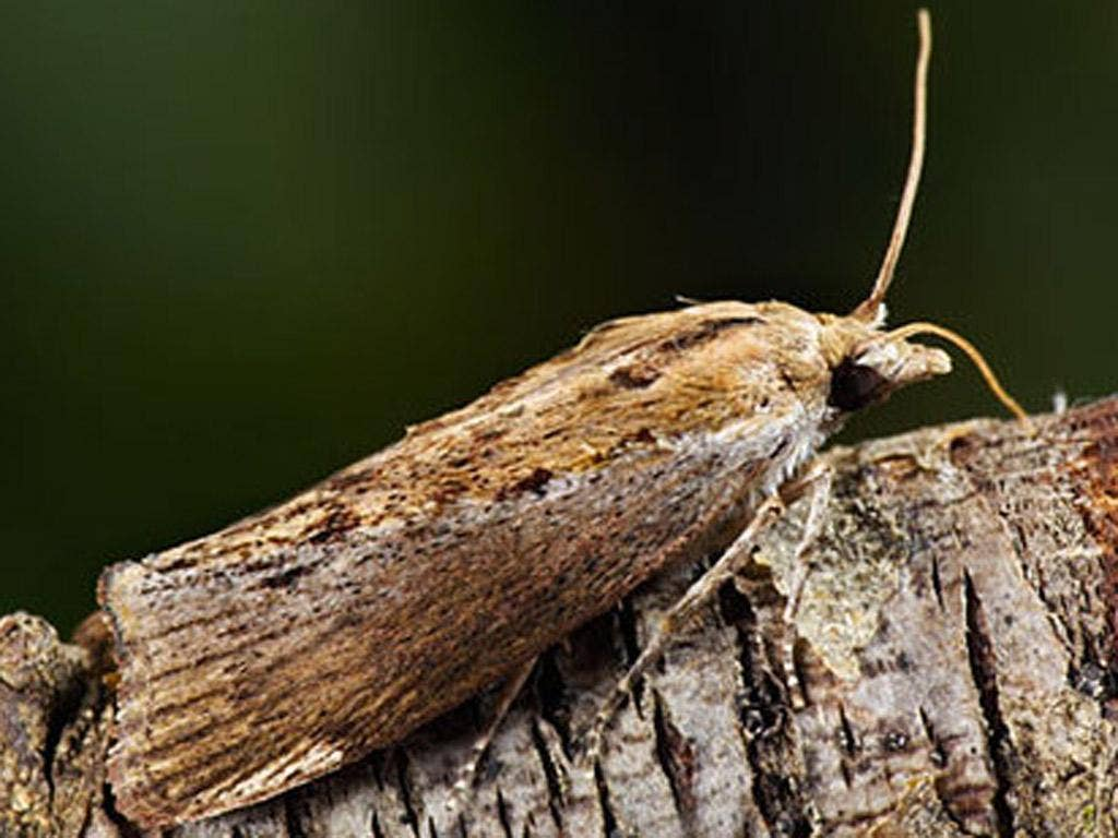 The greater wax moth can hear sounds that are 100 times higher than the highest human voice