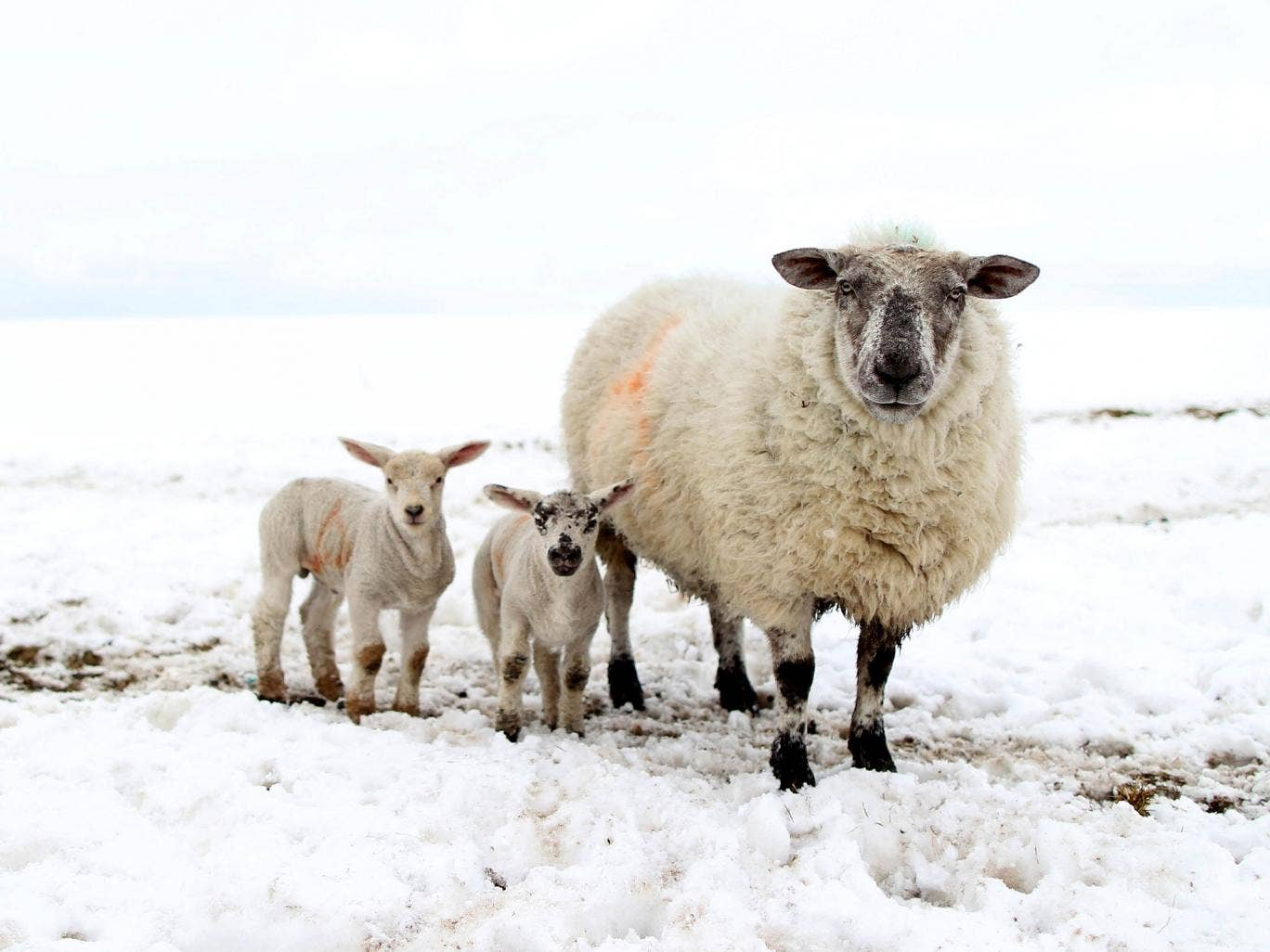 A sheep and her lambs in Northern Ireland, where up to 10,000 animals were buried in snowdrifts