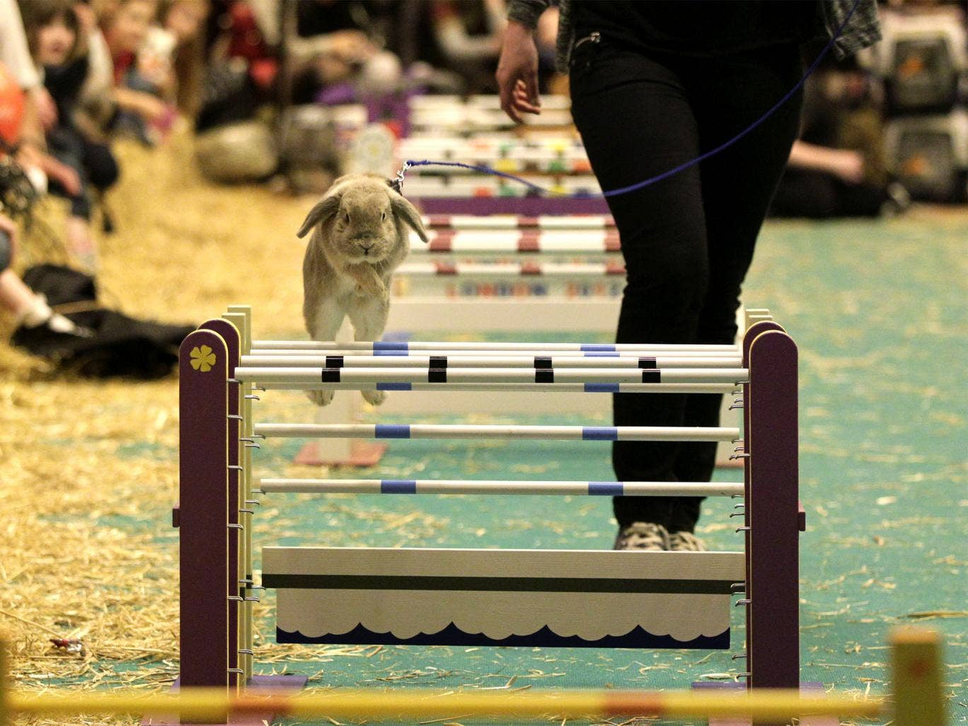 A show jumping Rabbit clears a hurdle at the London Pet Show