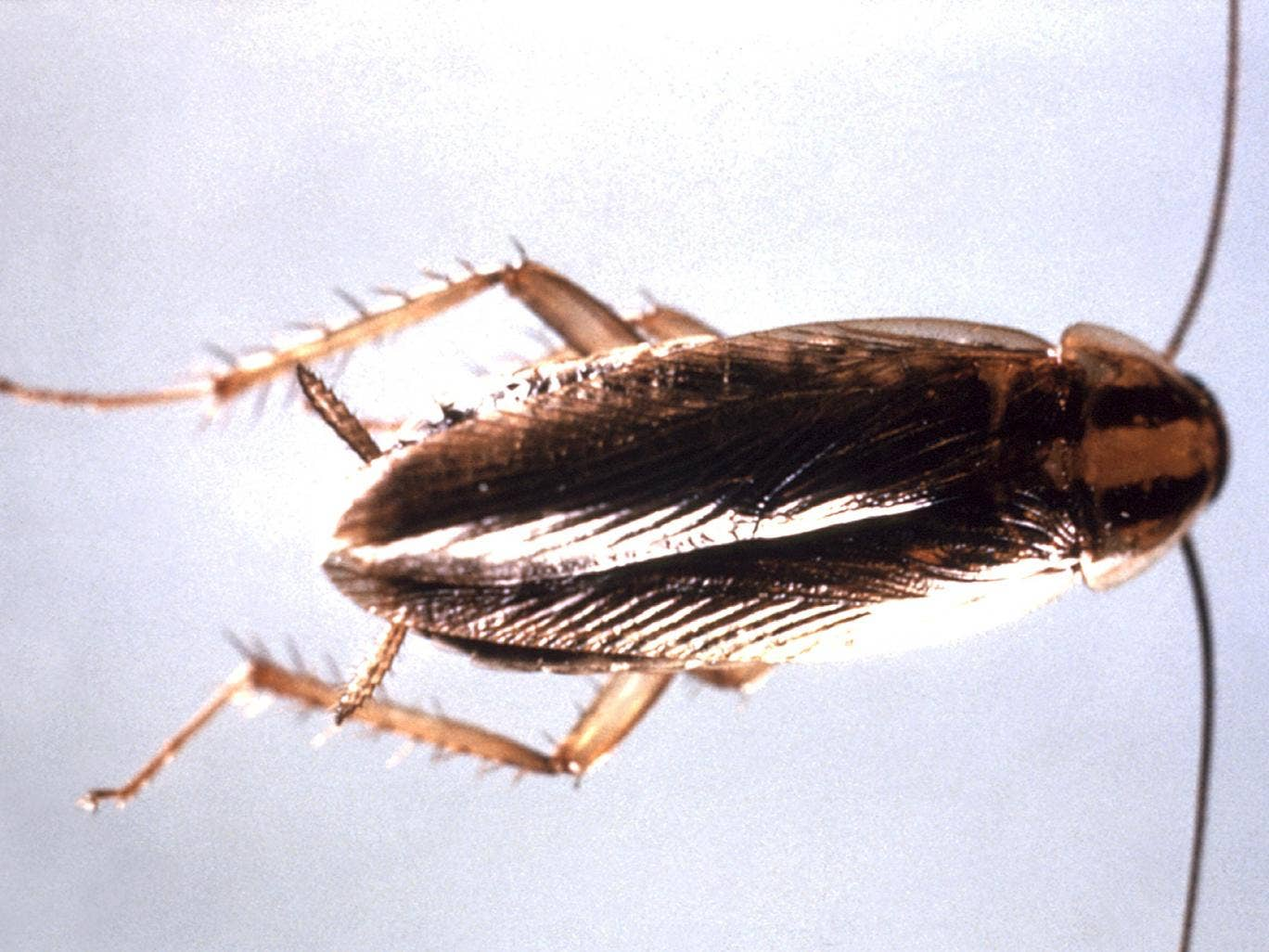 German cockroaches - smaller than the famous American cockroach - have evolved to lose their sweet tooth