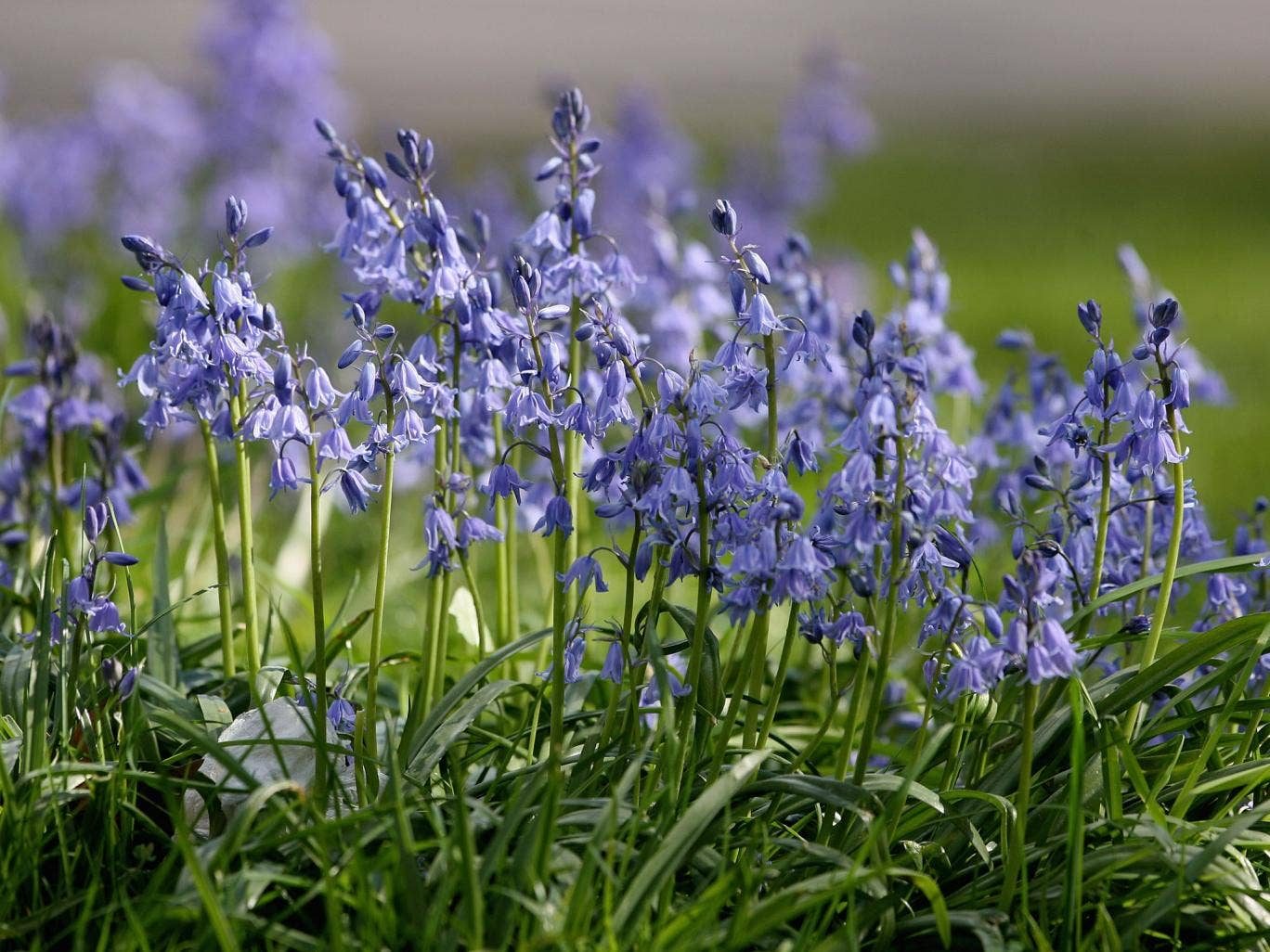 Bluebells are usually one of the first indications that spring is on the way