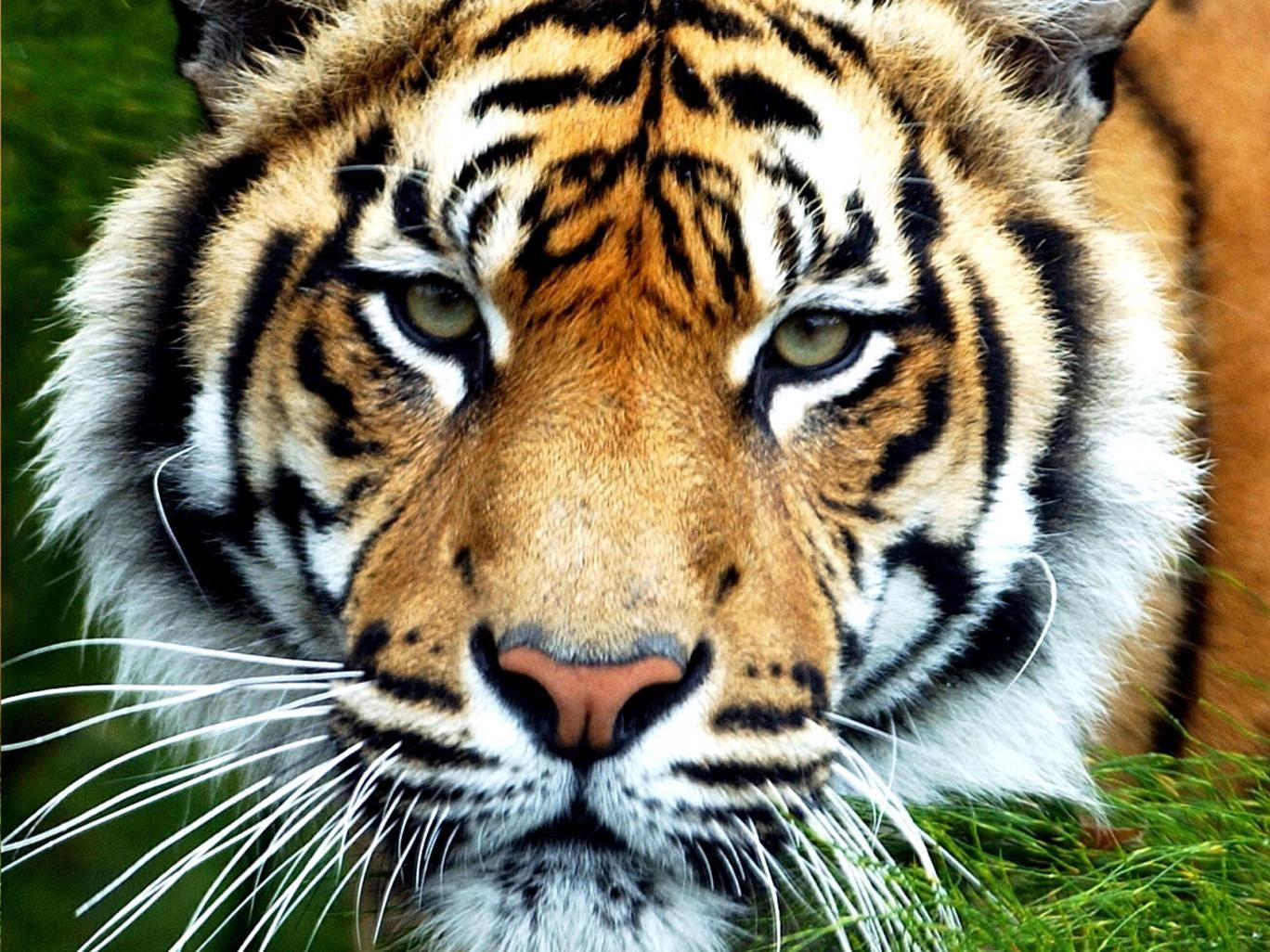 A Sumatran tiger like the one that killed Sarah McClay at South Lakes Wild Animal Park