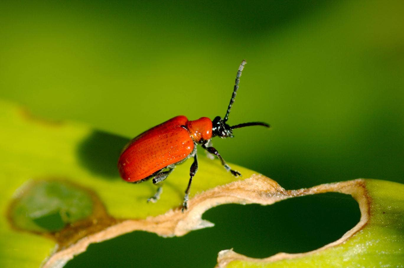 Over the course of spring and summer, a female lily beetle can lay 200-300 eggs